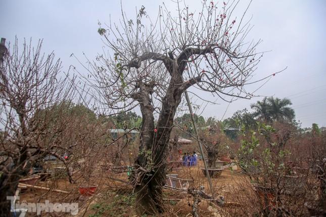 Sở hữu đào cổ thụ cao hơn 3m, chủ vườn quyết 'giữ lộc' không bán ảnh 2