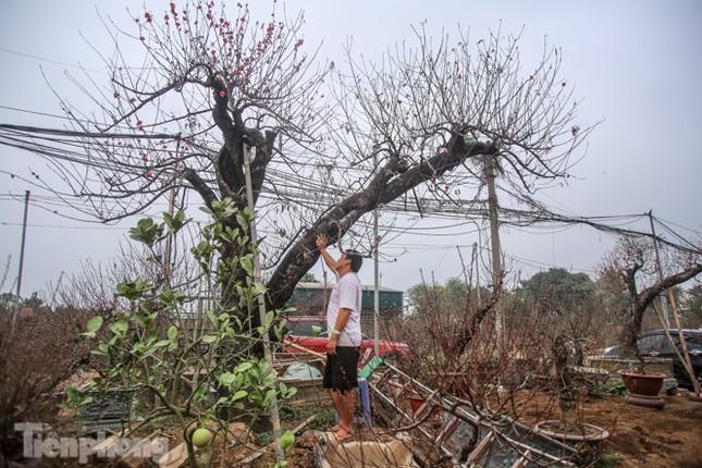 Sở hữu đào cổ thụ cao hơn 3m, chủ vườn quyết 'giữ lộc' không bán ảnh 4