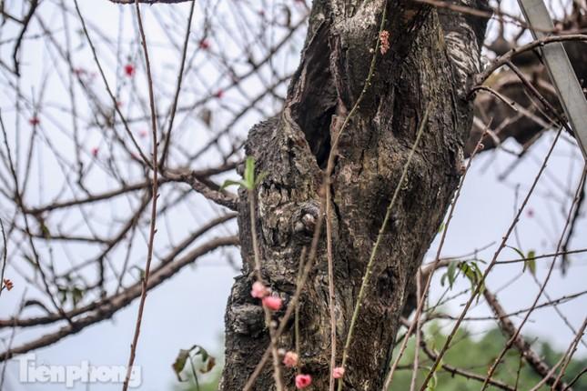 Sở hữu đào cổ thụ cao hơn 3m, chủ vườn quyết 'giữ lộc' không bán ảnh 5