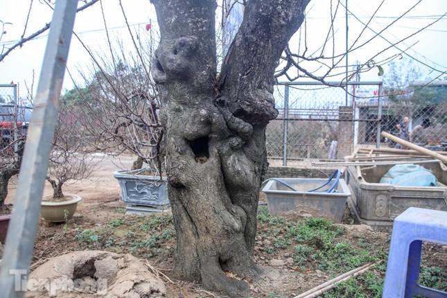 Sở hữu đào cổ thụ cao hơn 3m, chủ vườn quyết 'giữ lộc' không bán ảnh 6