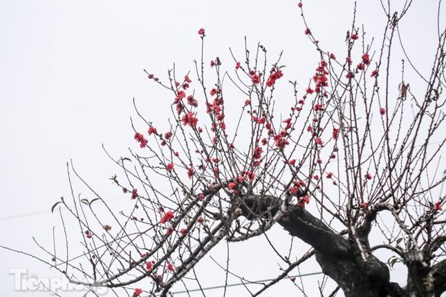 Sở hữu đào cổ thụ cao hơn 3m, chủ vườn quyết 'giữ lộc' không bán ảnh 7