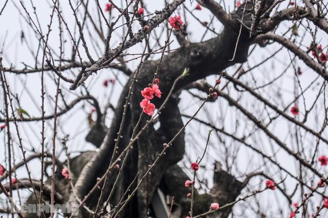 Sở hữu đào cổ thụ cao hơn 3m, chủ vườn quyết 'giữ lộc' không bán ảnh 8