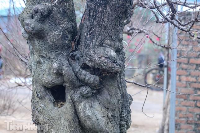 Sở hữu đào cổ thụ cao hơn 3m, chủ vườn quyết 'giữ lộc' không bán ảnh 9