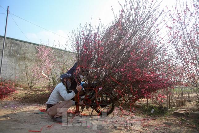 Đào bung nở, làng Nhật Tân nghẽn lối vào ngày cận Tết ảnh 11