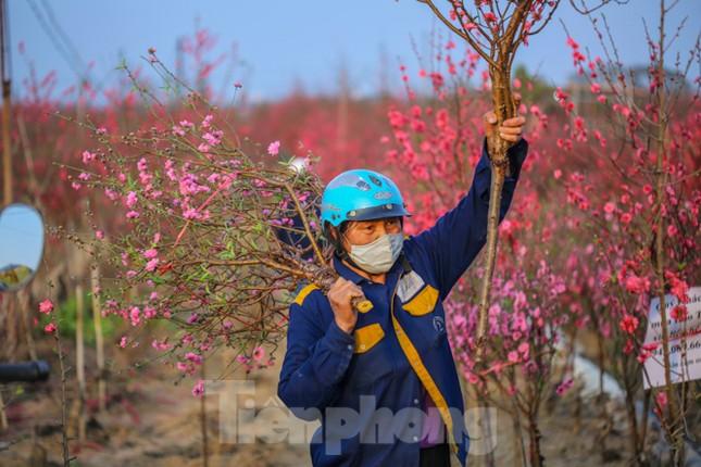 Đào bung nở, làng Nhật Tân nghẽn lối vào ngày cận Tết ảnh 16