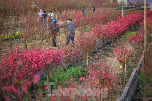 Đào bung nở, làng Nhật Tân nghẽn lối vào ngày cận Tết ảnh 1