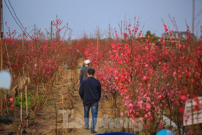 Đào bung nở, làng Nhật Tân nghẽn lối vào ngày cận Tết ảnh 2