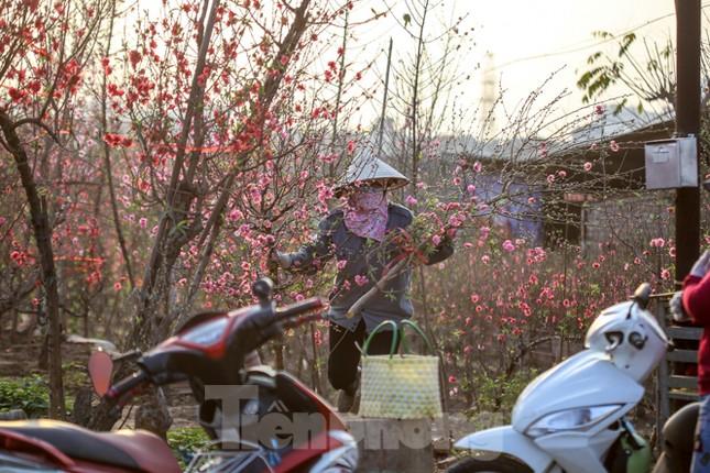 Đào bung nở, làng Nhật Tân nghẽn lối vào ngày cận Tết ảnh 4