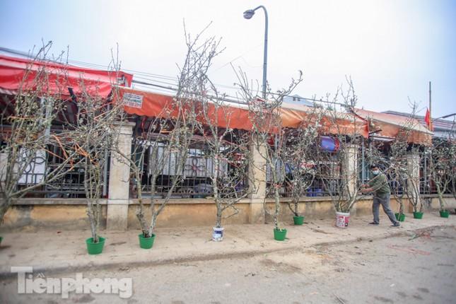 Người dân Hà Thành bỏ tiền triệu mua hoa lê chơi sau Tết ảnh 12