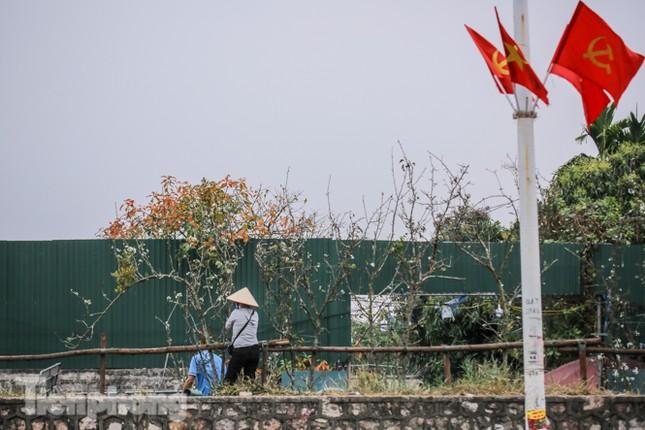 Người dân Hà Thành bỏ tiền triệu mua hoa lê chơi sau Tết ảnh 7
