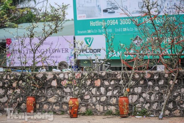 Người dân Hà Thành bỏ tiền triệu mua hoa lê chơi sau Tết ảnh 8