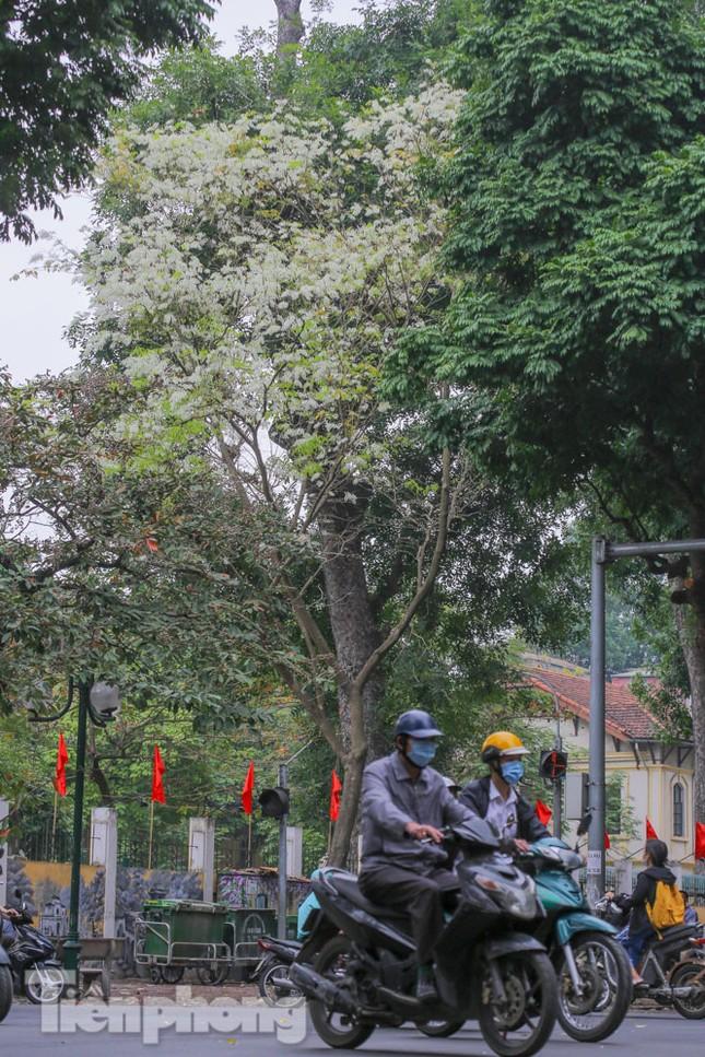 Ngắm hoa sưa 'phủ tuyết' phố phường Hà Nội ảnh 4