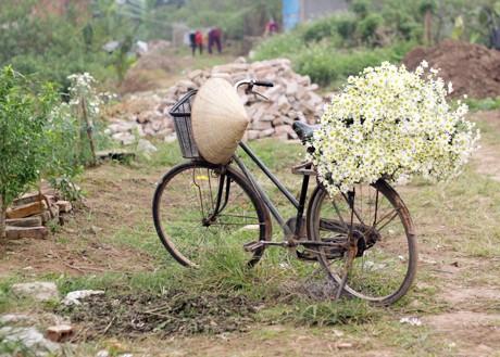 Vẻ đẹp bình dị của cúc họa mi giữa mùa đông Hà Nội ảnh 7