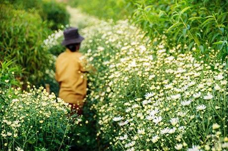Vẻ đẹp bình dị của cúc họa mi giữa mùa đông Hà Nội ảnh 9