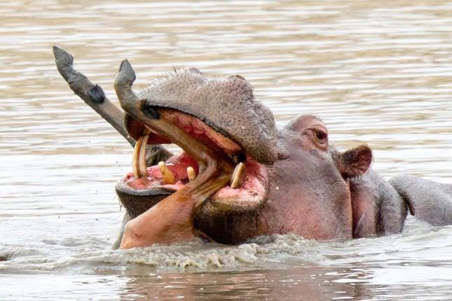 Rợn người chứng kiến cảnh hà mã ăn thịt linh dương ảnh 3