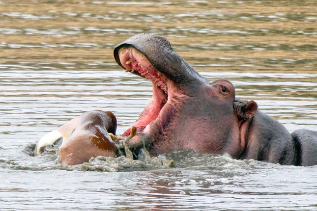 Rợn người chứng kiến cảnh hà mã ăn thịt linh dương ảnh 4
