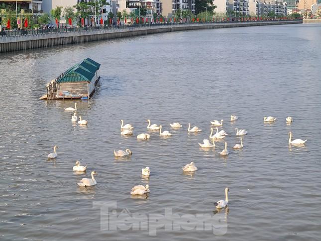 Đông người đến ngắm 65 đôi thiên nga được thả trên sông Tam Bạc ảnh 7