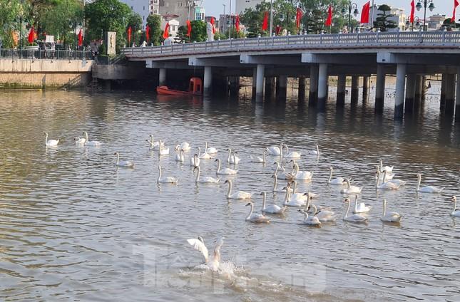 Đông người đến ngắm 65 đôi thiên nga được thả trên sông Tam Bạc ảnh 5