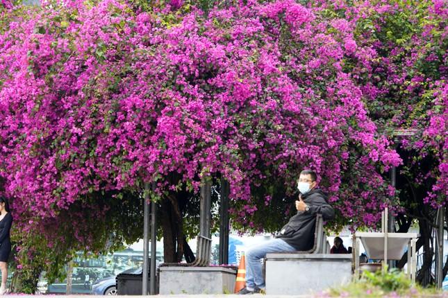 Cây hoa giấy 'hot' nhất Quảng Ninh được giới trẻ săn đón ảnh 8
