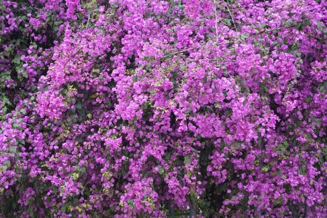 Cây hoa giấy 'hot' nhất Quảng Ninh được giới trẻ săn đón ảnh 5
