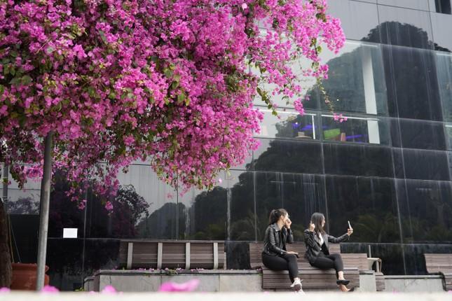 Cây hoa giấy 'hot' nhất Quảng Ninh được giới trẻ săn đón ảnh 6