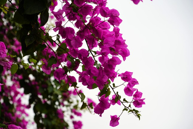 Cây hoa giấy 'hot' nhất Quảng Ninh được giới trẻ săn đón ảnh 4