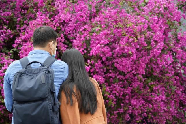 Cây hoa giấy 'hot' nhất Quảng Ninh được giới trẻ săn đón ảnh 3