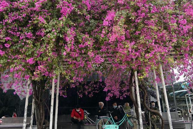 Cây hoa giấy 'hot' nhất Quảng Ninh được giới trẻ săn đón ảnh 7