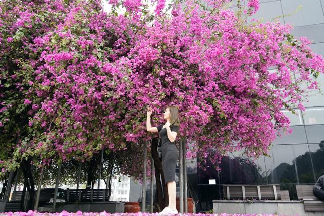 Cây hoa giấy 'hot' nhất Quảng Ninh được giới trẻ săn đón ảnh 2