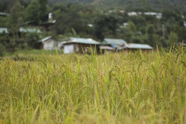 Hình ảnh đẹp bình dị trong 'mùa vàng' của người Xê Đăng dưới chân núi Ngọc Linh ảnh 2