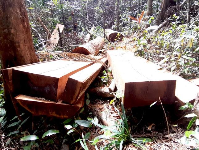 Cận cảnh điểm phá rừng gần trụ sở uỷ ban xã ở Gia Lai ảnh 7