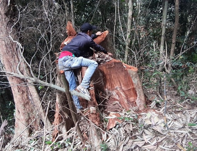 Cận cảnh điểm phá rừng gần trụ sở uỷ ban xã ở Gia Lai ảnh 1