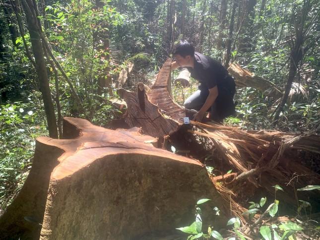 Cận cảnh điểm phá rừng gần trụ sở uỷ ban xã ở Gia Lai ảnh 9