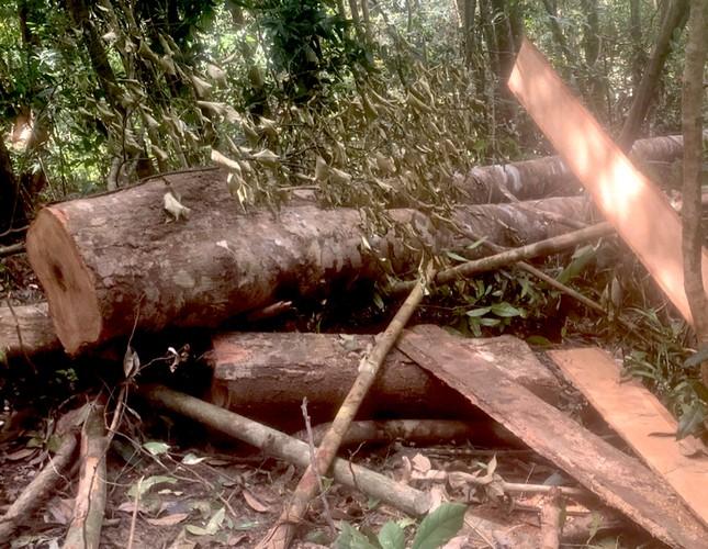 Cận cảnh điểm phá rừng gần trụ sở uỷ ban xã ở Gia Lai ảnh 4