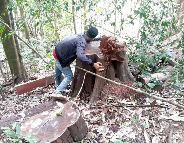 Cận cảnh điểm phá rừng gần trụ sở uỷ ban xã ở Gia Lai ảnh 8