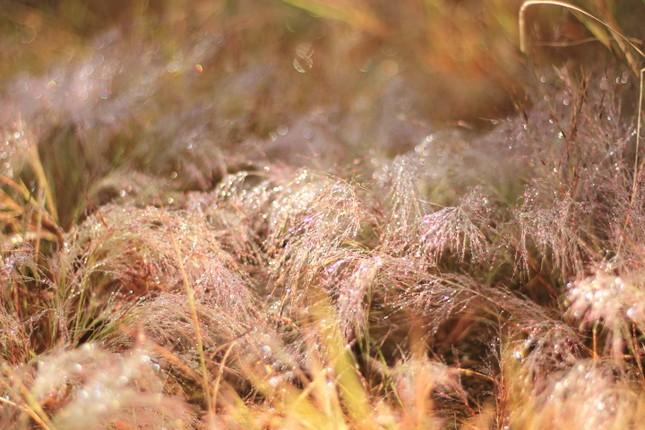 Đổ xô tới ngọn đồi bị loại cỏ 'nhuộm' màu hồng quyến rũ ảnh 2