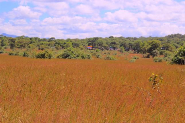 Đổ xô tới ngọn đồi bị loại cỏ 'nhuộm' màu hồng quyến rũ ảnh 1