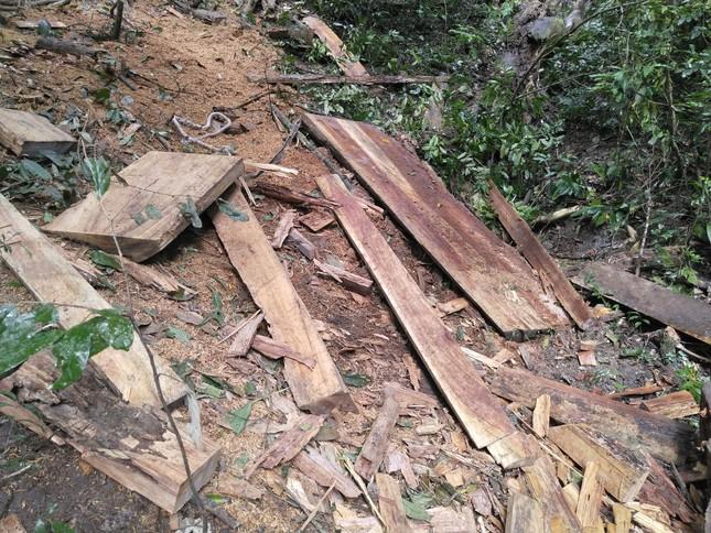 Tận thấy hiện trường rừng giáng hương cổ thụ bị tàn phá ở Tây Nguyên ảnh 10