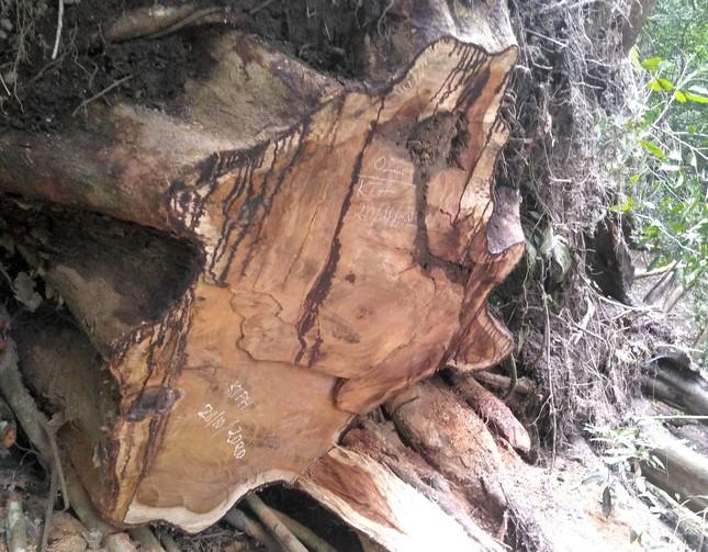 Tận thấy hiện trường rừng giáng hương cổ thụ bị tàn phá ở Tây Nguyên ảnh 8