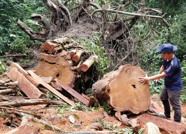 Tận thấy hiện trường rừng giáng hương cổ thụ bị tàn phá ở Tây Nguyên ảnh 6