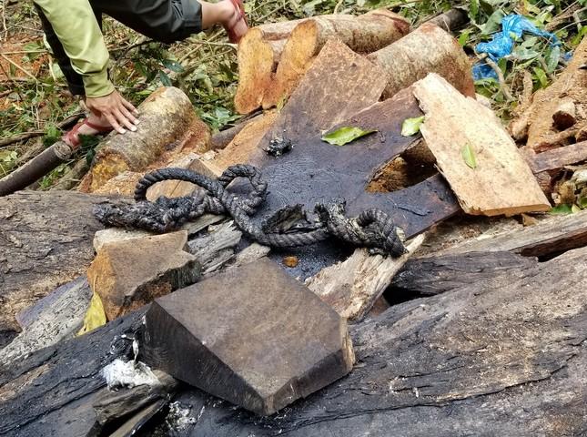 Tận thấy hiện trường rừng giáng hương cổ thụ bị tàn phá ở Tây Nguyên ảnh 7