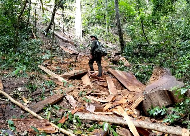 Tận thấy hiện trường rừng giáng hương cổ thụ bị tàn phá ở Tây Nguyên ảnh 5