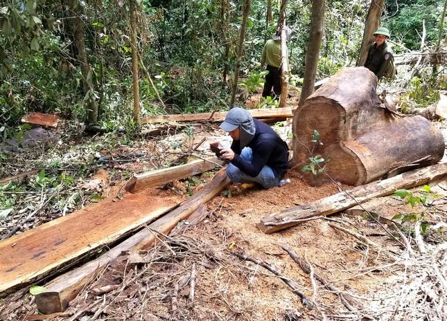 Tận thấy hiện trường rừng giáng hương cổ thụ bị tàn phá ở Tây Nguyên ảnh 3