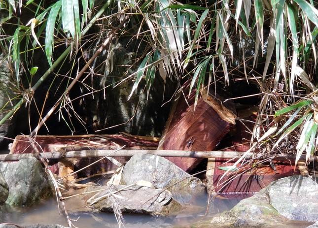 Tận thấy hiện trường rừng giáng hương cổ thụ bị tàn phá ở Tây Nguyên ảnh 9