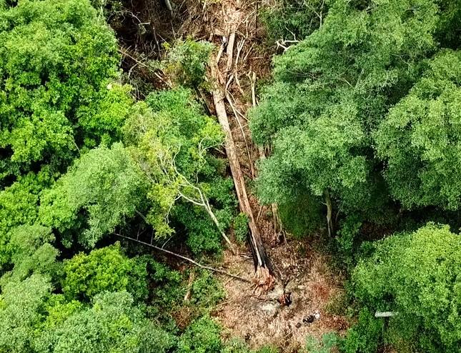 Tận thấy hiện trường rừng giáng hương cổ thụ bị tàn phá ở Tây Nguyên ảnh 11