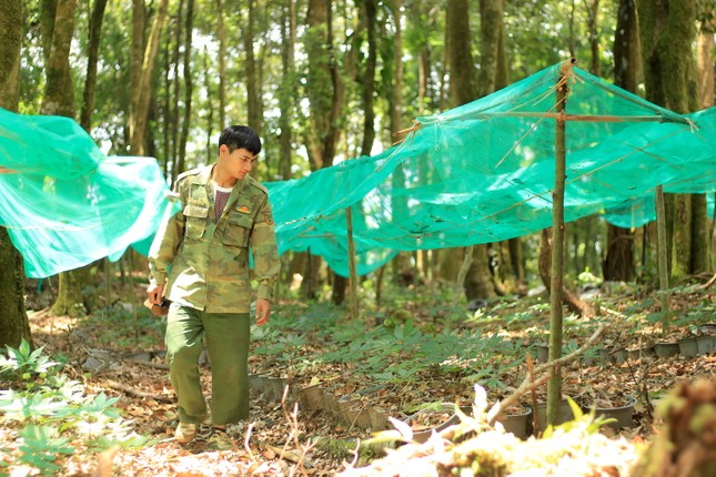 Kỳ lạ vườn sâm quý giúp giữ rừng ở Kon Tum ảnh 11