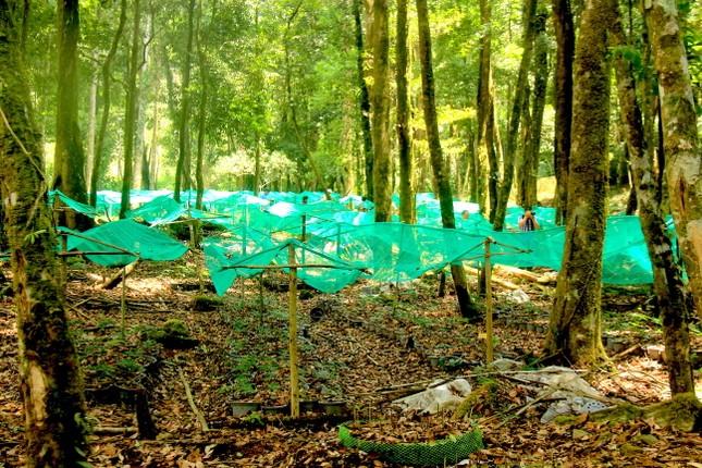 Kỳ lạ vườn sâm quý giúp giữ rừng ở Kon Tum ảnh 9
