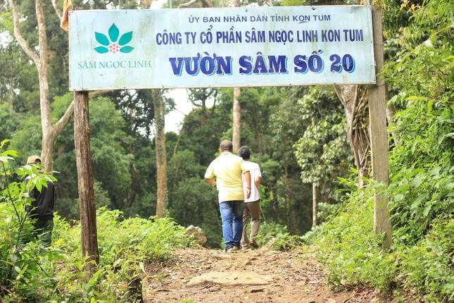 Kỳ lạ vườn sâm quý giúp giữ rừng ở Kon Tum ảnh 3