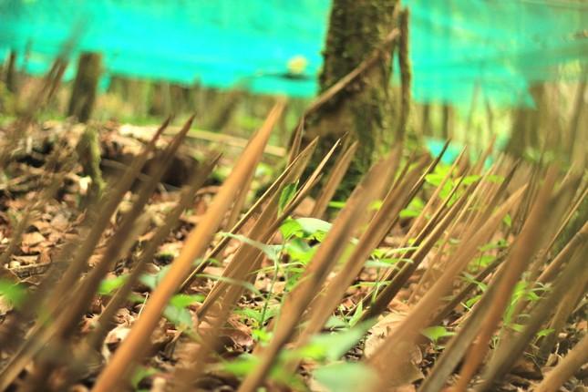 Kỳ lạ vườn sâm quý giúp giữ rừng ở Kon Tum ảnh 7
