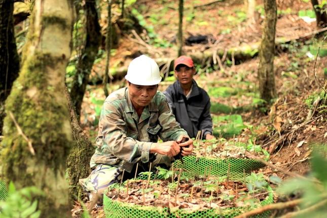 Kỳ lạ vườn sâm quý giúp giữ rừng ở Kon Tum ảnh 16